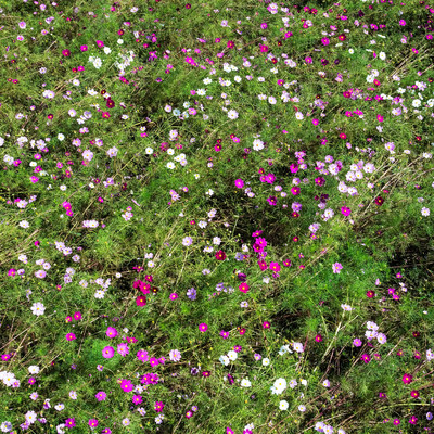 風であおられても咲き続けるコスモスの写真