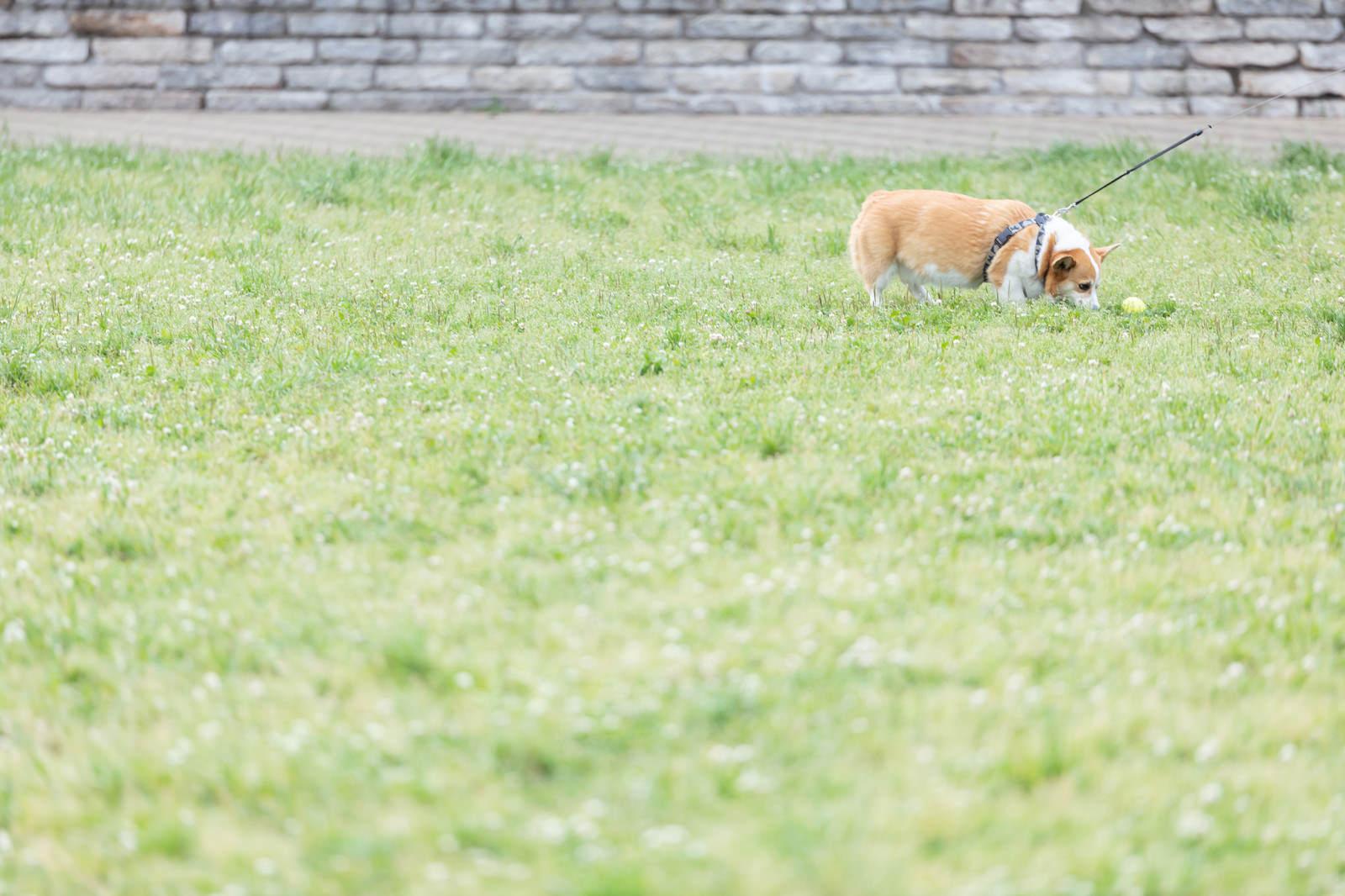 「公園でボール遊びするわんちゃそ」の写真