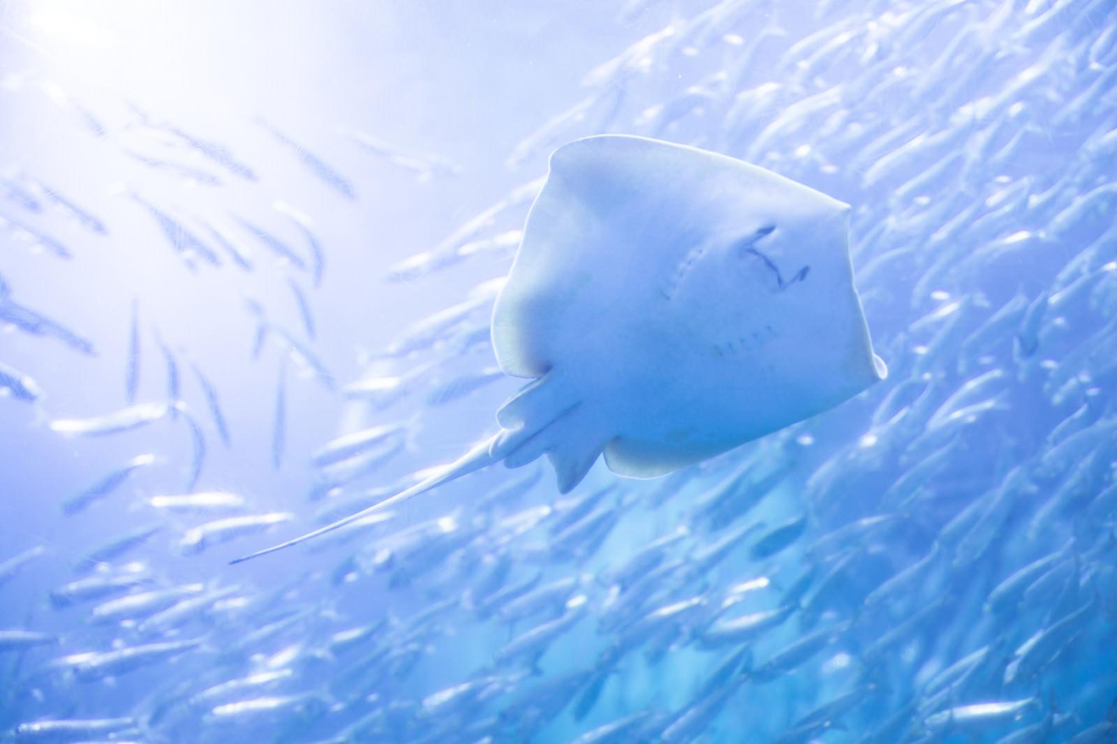 「魚群とエイの裏側」の写真