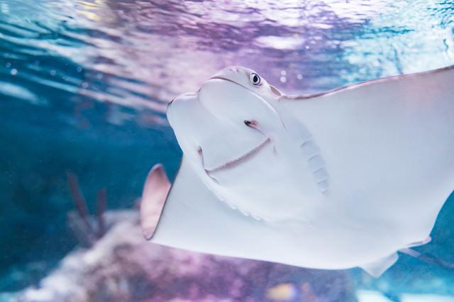 優雅に泳ぐにんまり顔のエイの写真