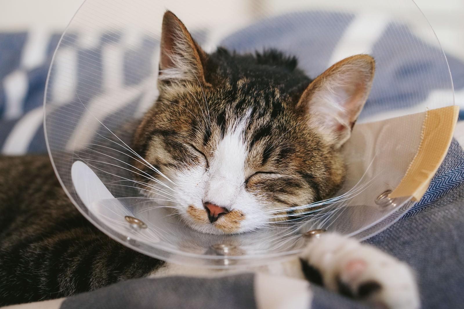 「エリザベスカラーをつけたまま眠る猫」の写真