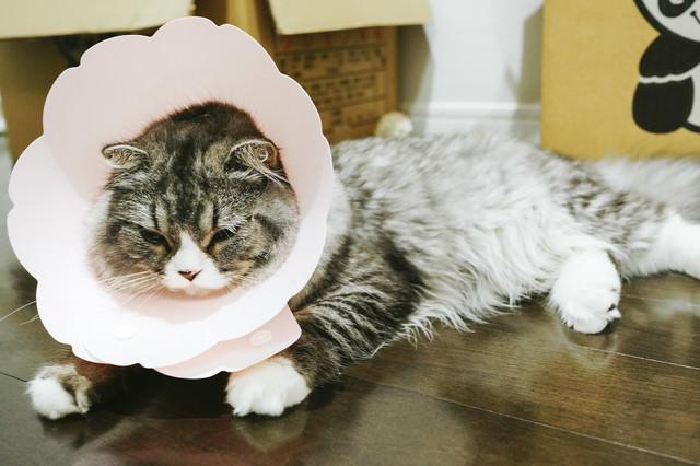 エリザベスカラーを着けられて凹んでるオス猫(スコティッシュフォールド)の写真