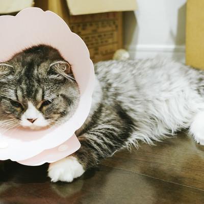 「エリザベスカラーを着けられて凹んでるオス猫(スコティッシュフォールド)」の写真素材