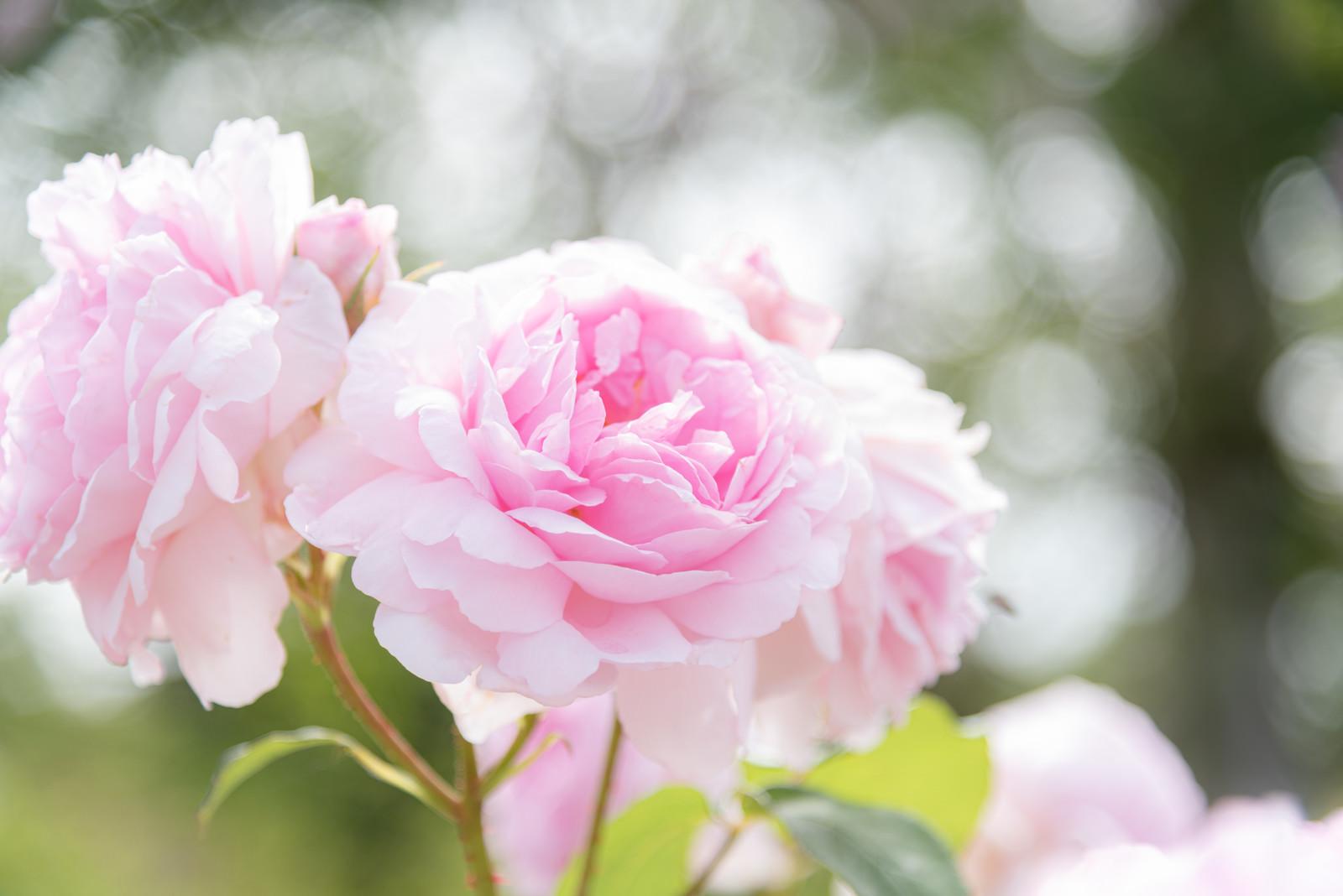 「ふわふわ(薔薇)」の写真