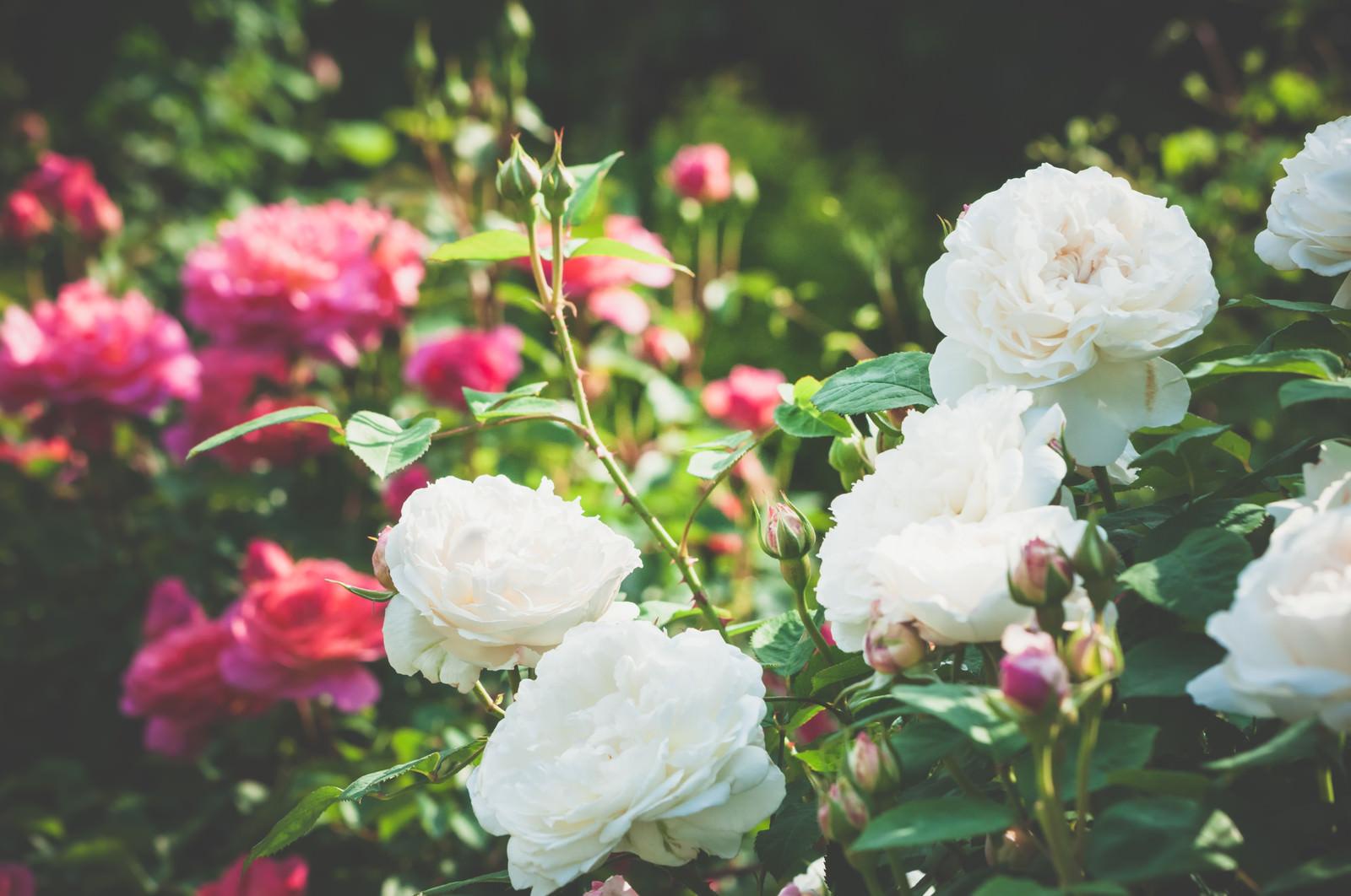 「中二病の薔薇」の写真