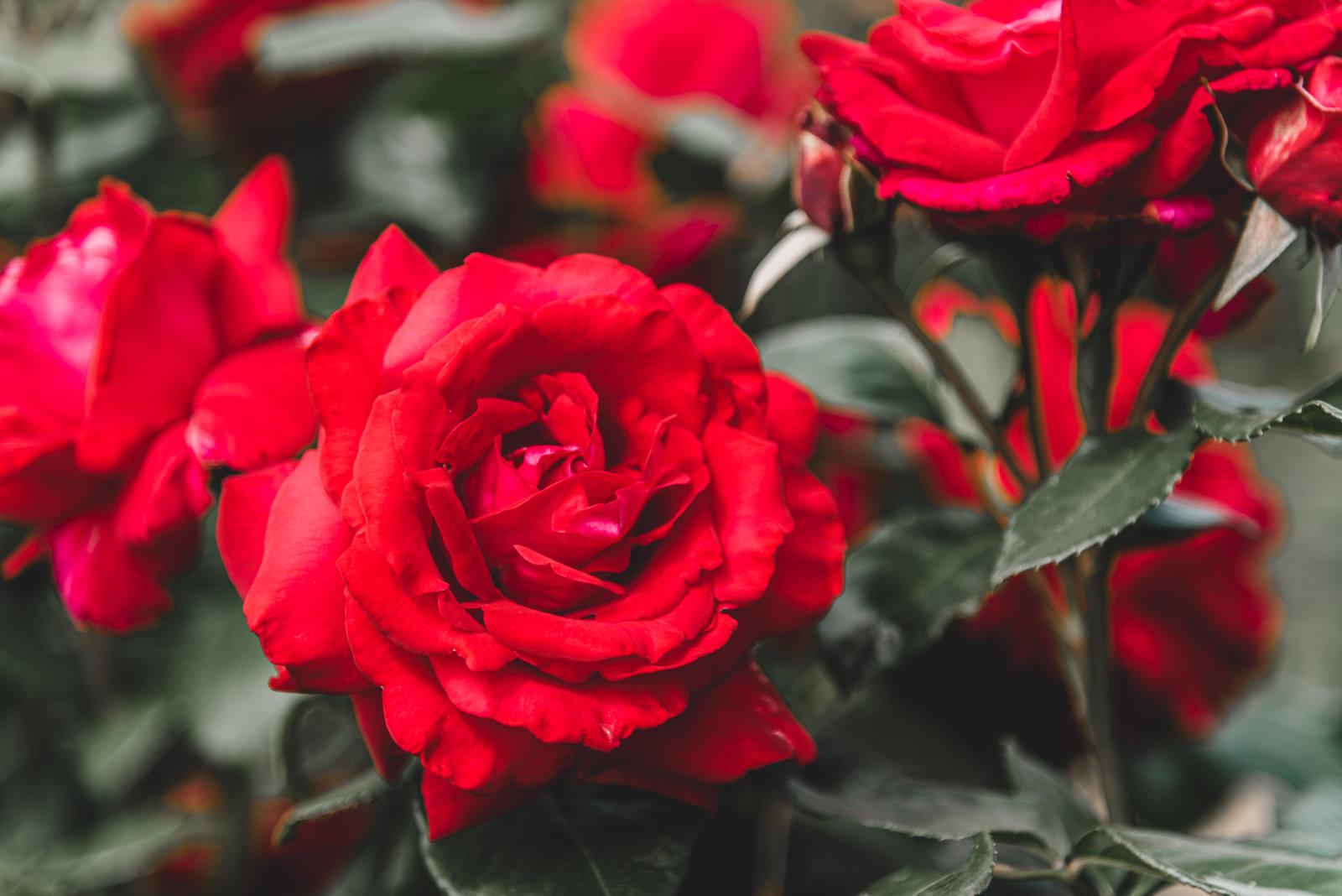 「真紅の薔薇」の写真