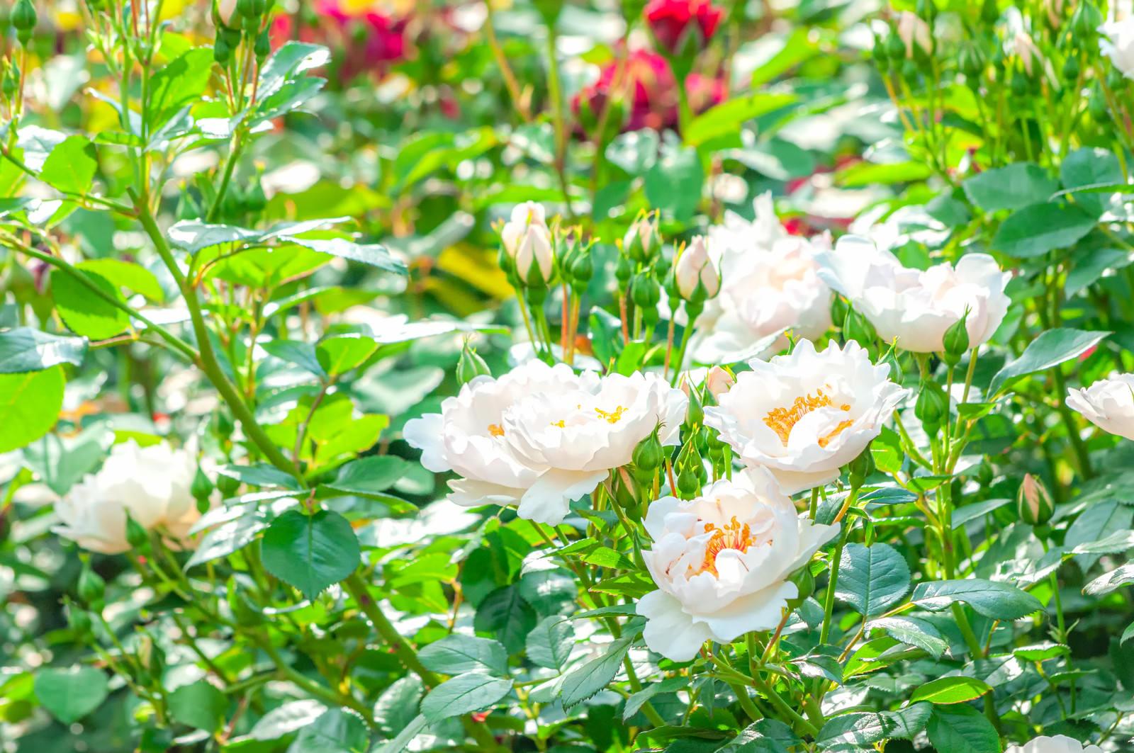 「光かがやく花弁」の写真