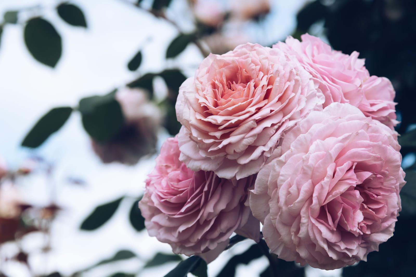 「幾重にも重なる花弁」の写真