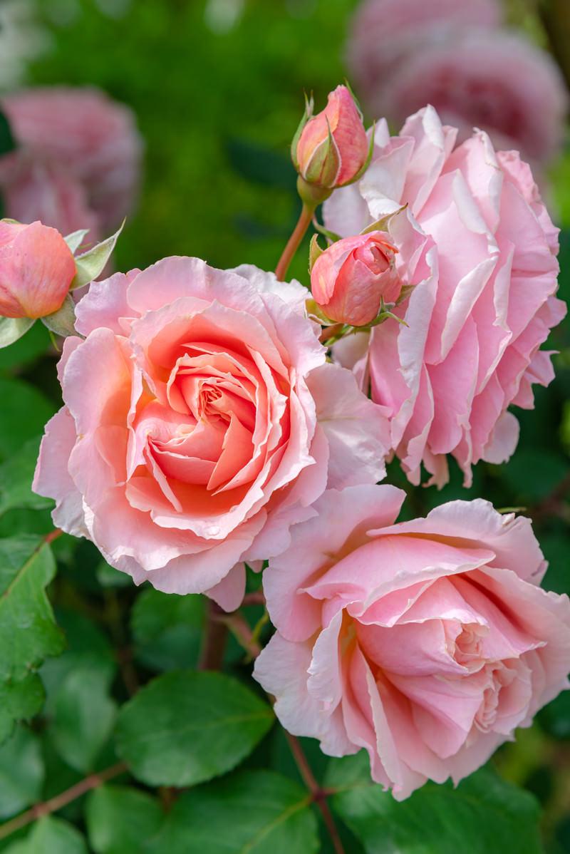「雨上がりのバラ」の写真