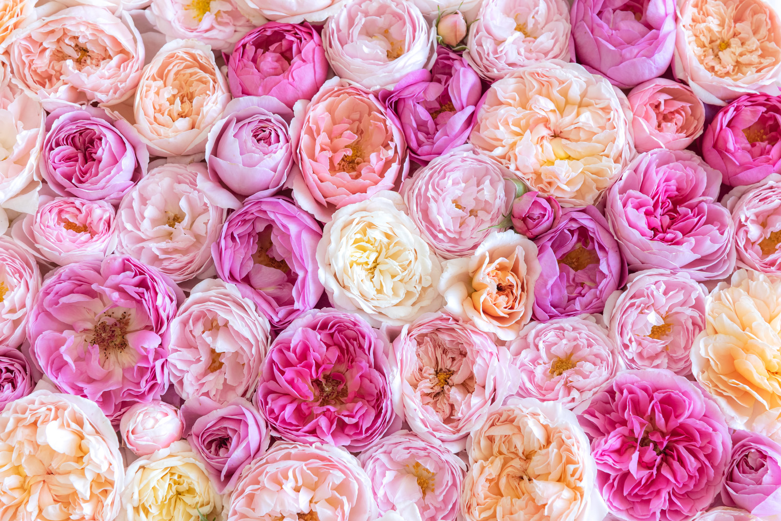 「ピンクのばらのテクスチャ」の写真