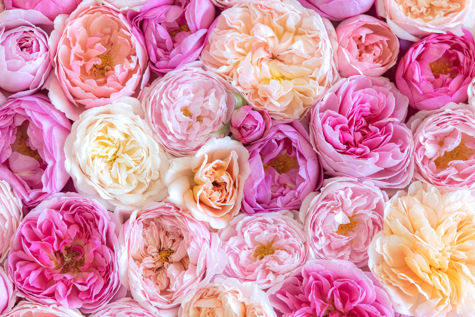 「敷き詰める薔薇のテクスチャ」の写真