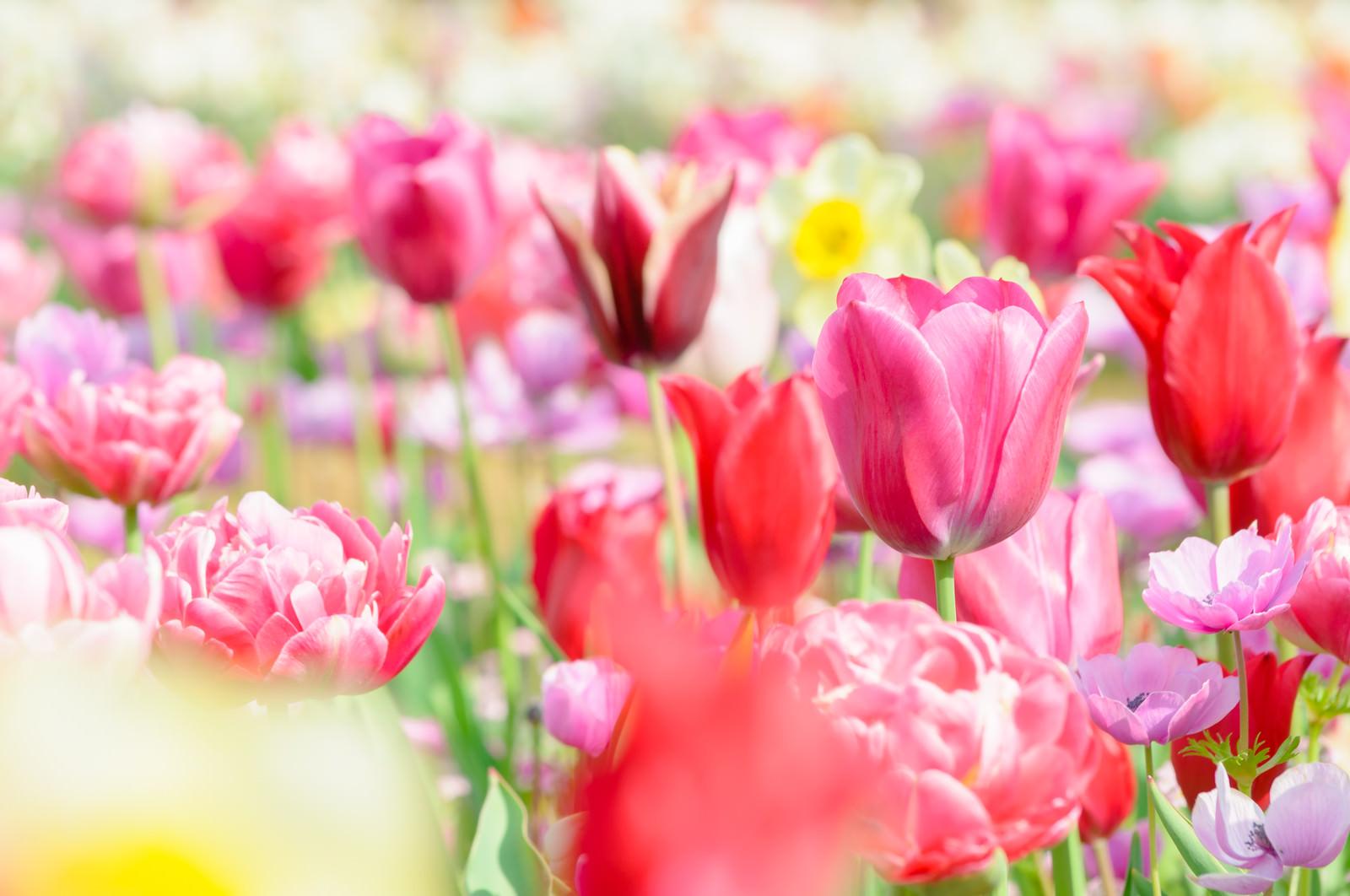 「春の日差しとチューリップ」の写真