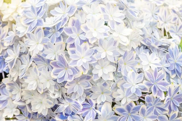 紫陽花のテクスチャの写真