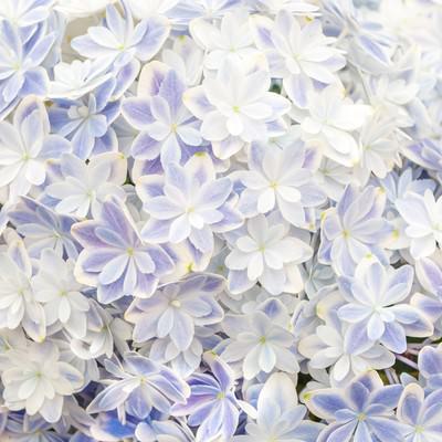 「紫陽花のテクスチャ」の写真素材