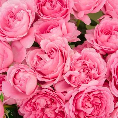 「ピンクのばらのテクスチャ」の写真素材