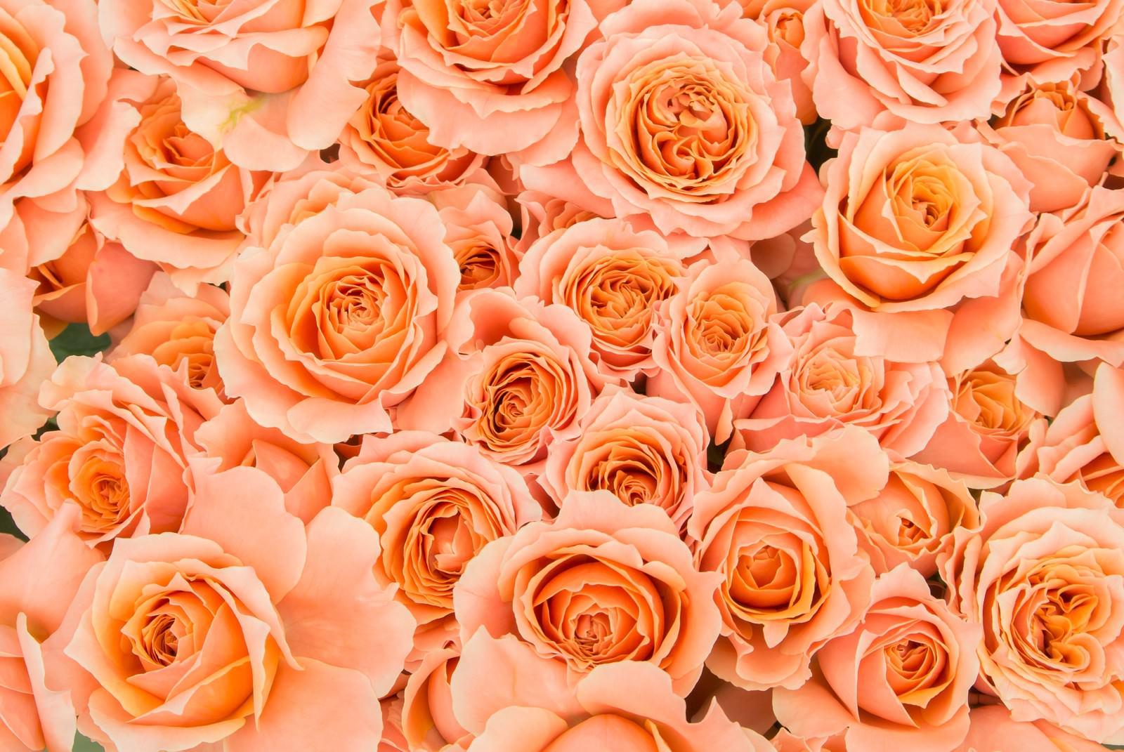 「オレンジのばらのテクスチャ」の写真