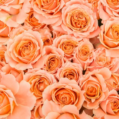 「オレンジのばらのテクスチャ」の写真素材