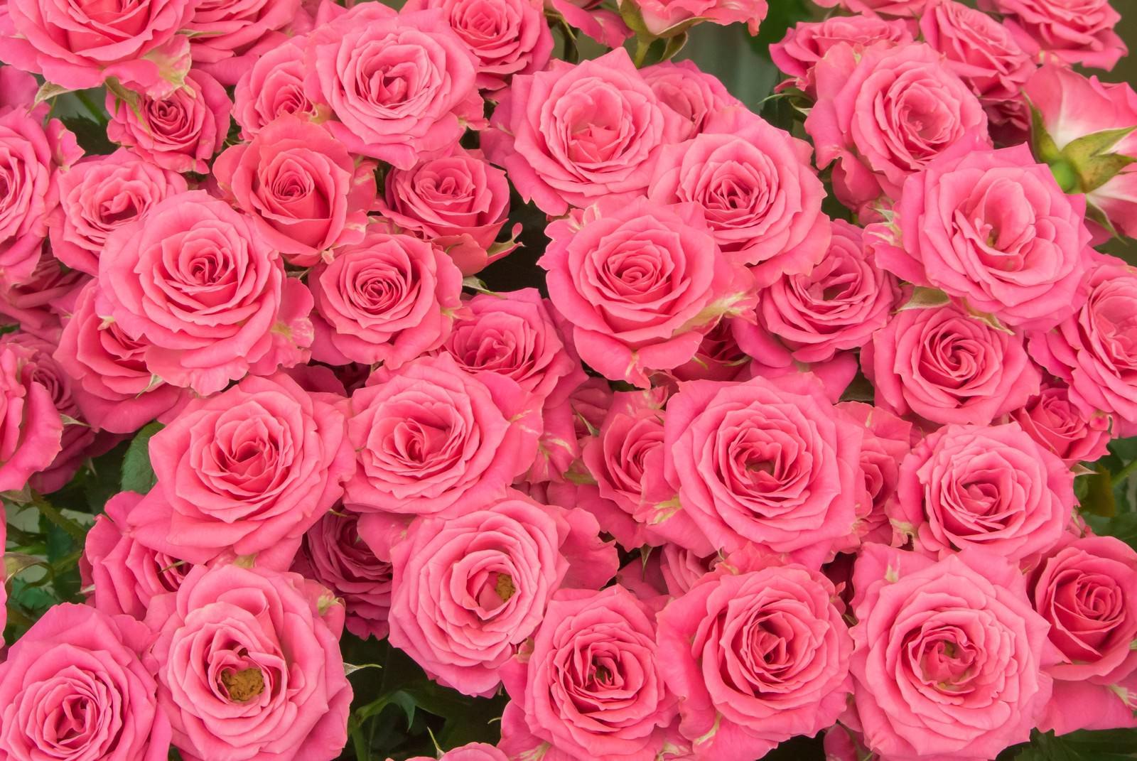 ピンクの薔薇のテクスチャ|ぱく...