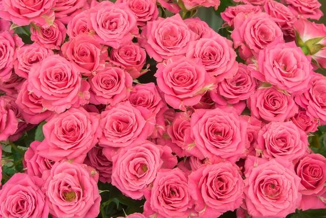 ピンクの薔薇のテクスチャの写真