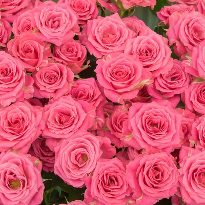 「ピンクの薔薇のテクスチャ」の写真素材