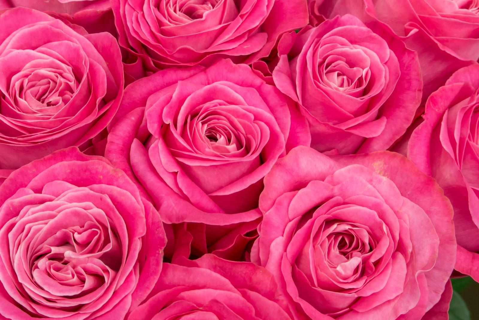 「ピンク色の薔薇の花ピンク色の薔薇の花」のフリー写真素材を拡大