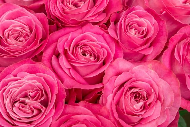 ピンク色の薔薇の花の写真