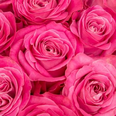 「ピンク色の薔薇の花」の写真素材