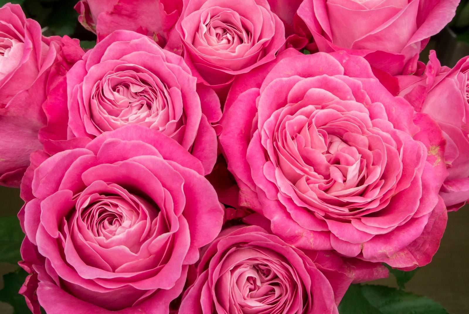 「ピンク色に咲いた薔薇の花」の写真