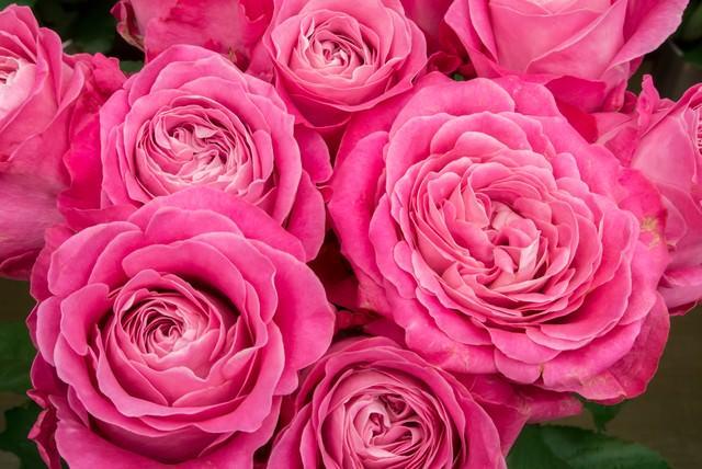 ピンク色に咲いた薔薇の花の写真