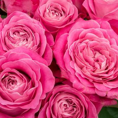 「ピンク色に咲いた薔薇の花」の写真素材
