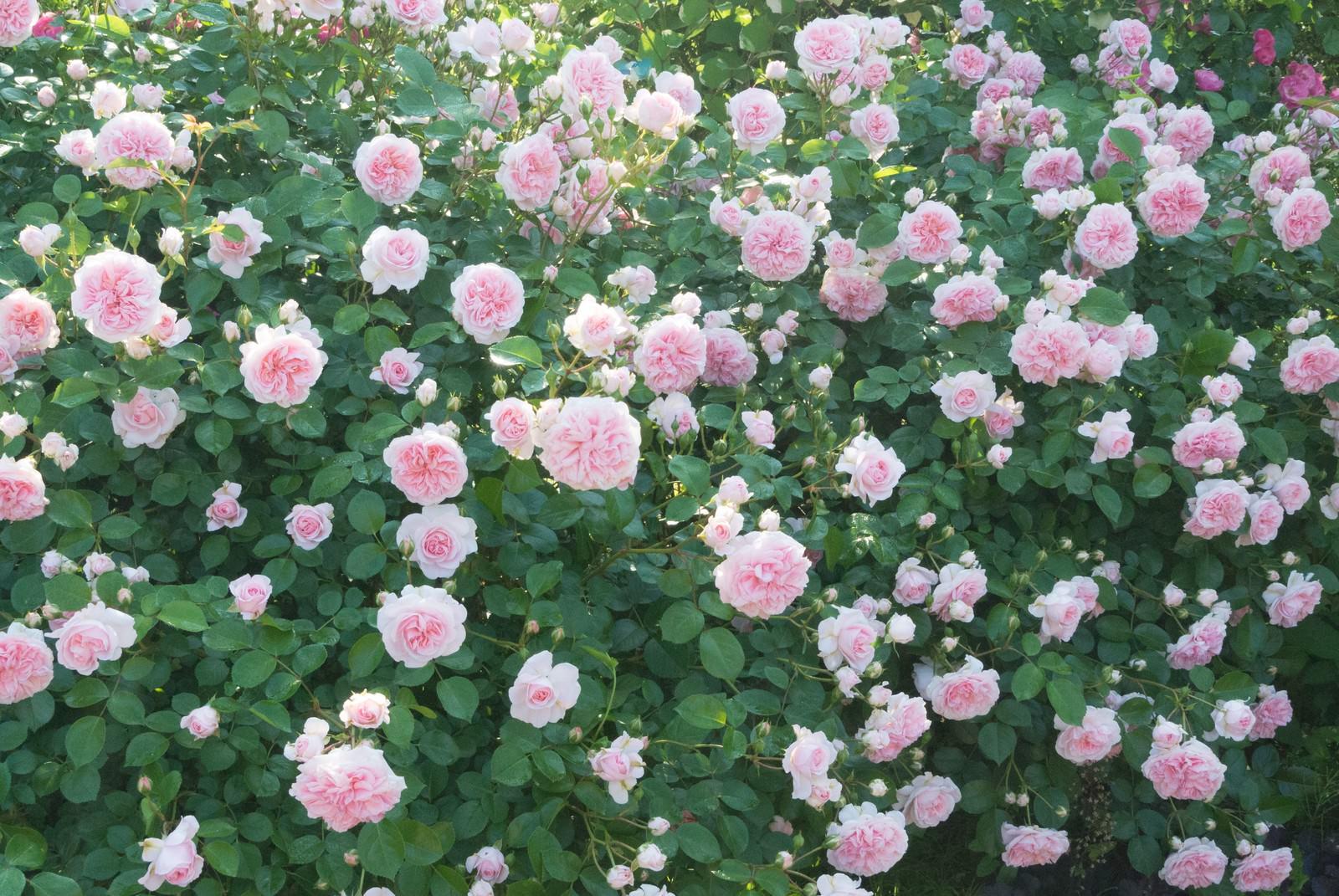 「ピンクのバラのテクスチャ」の写真