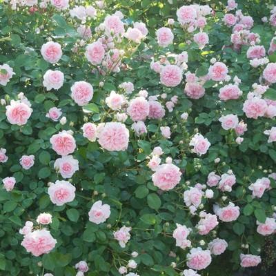 ピンクのバラのテクスチャの写真
