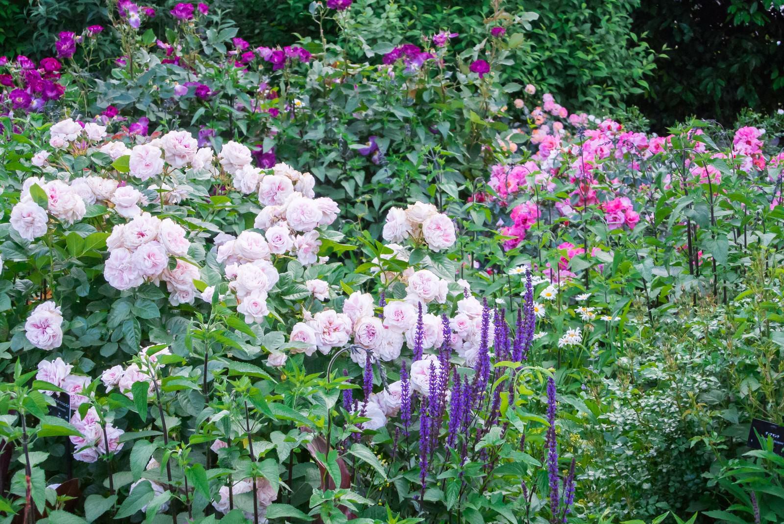 「バラの咲く庭」の写真
