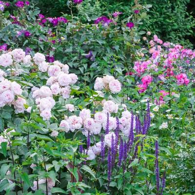 「バラの咲く庭」の写真素材
