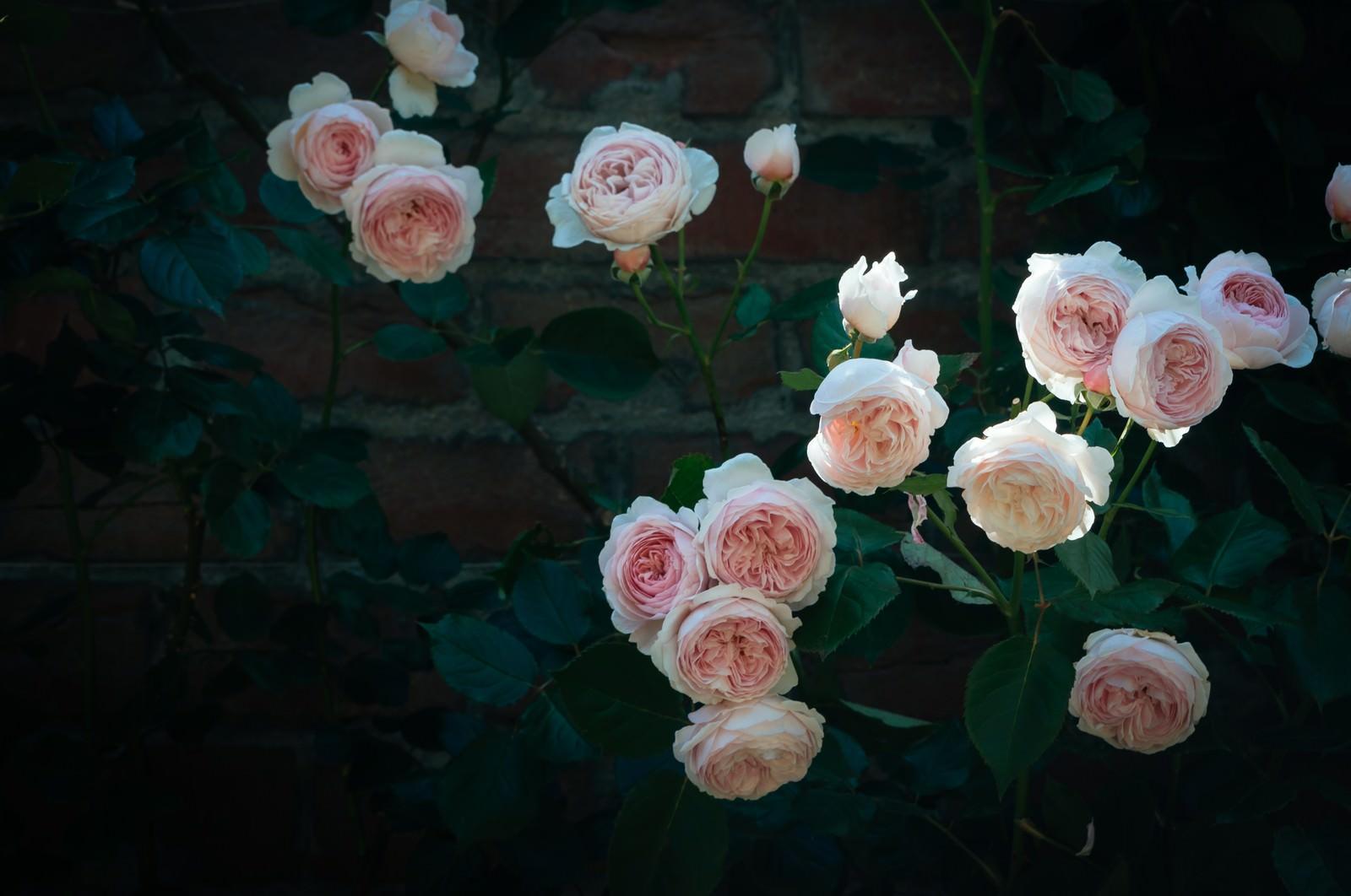 「バラとレンガの壁」の写真