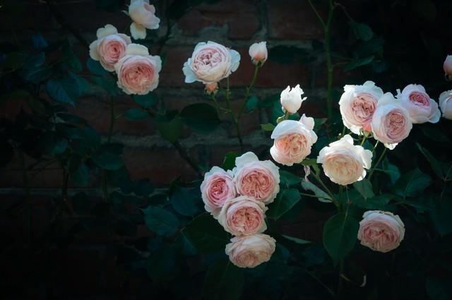 バラとレンガの壁の写真