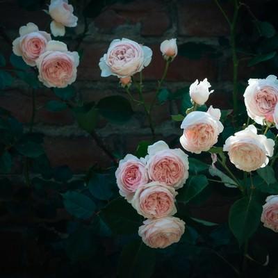 「バラとレンガの壁」の写真素材