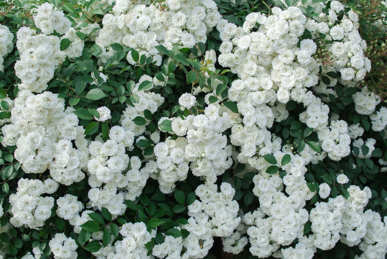 「白いつるバラのテクスチャ」の写真