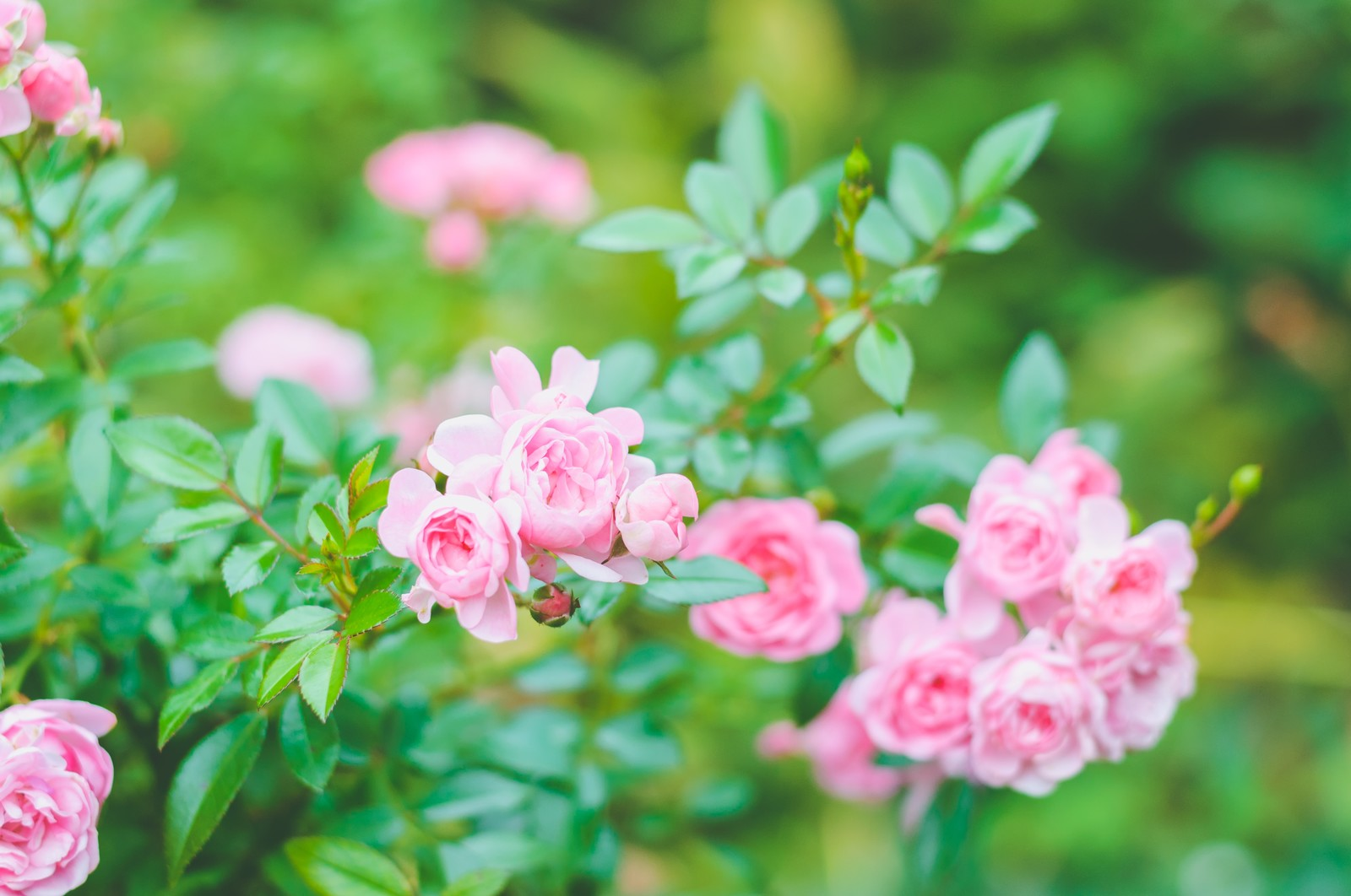 「鮮やかに咲くピンクのミニバラ」の写真