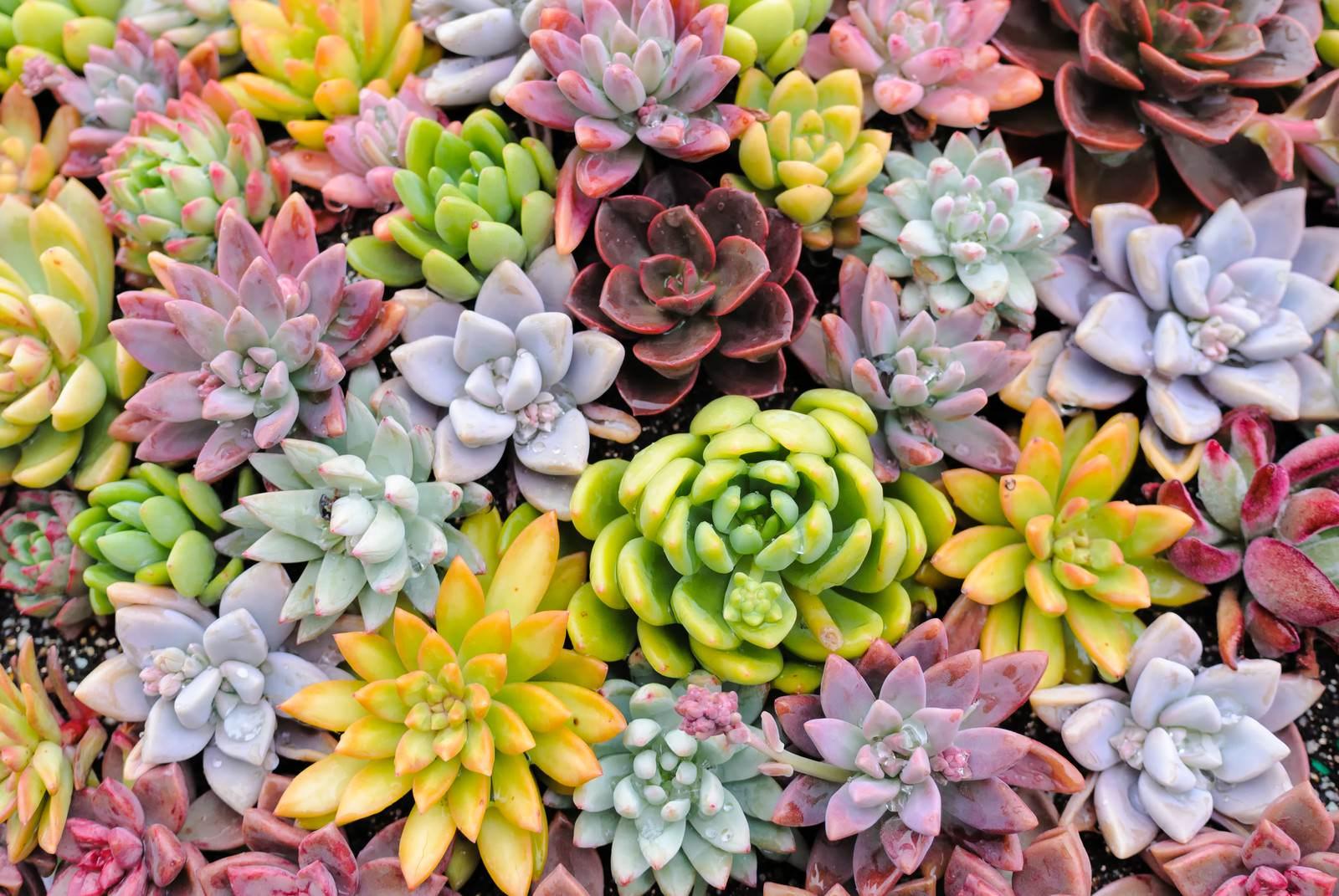 「カラフルな多肉植物のテクスチャーカラフルな多肉植物のテクスチャー」のフリー写真素材を拡大