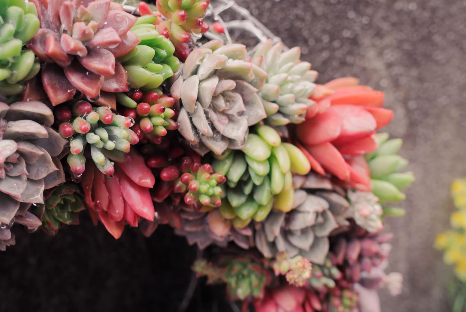 「色とりどりの多肉植物で作られたリース」の写真