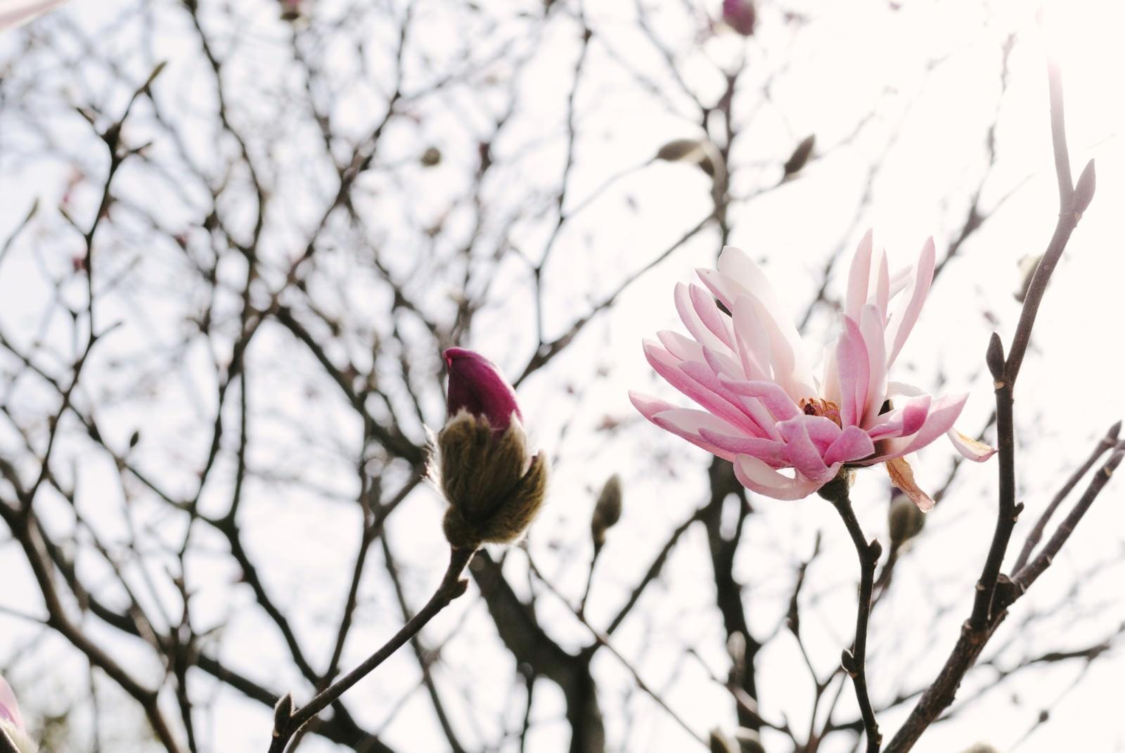 「春の光を浴びる崇高の花(マグノリア) | 写真の無料素材・フリー素材 - ぱくたそ」の写真