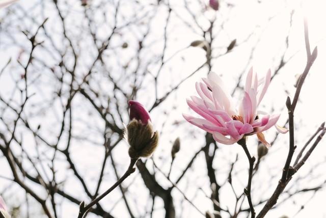 春の光を浴びる崇高の花(マグノリア)の写真