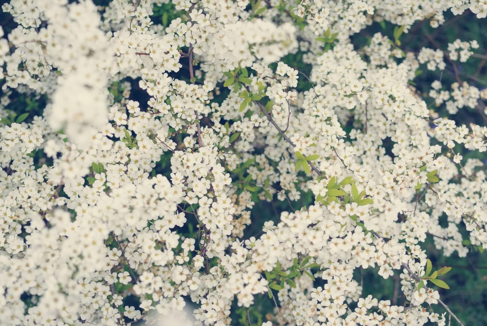「静かに咲き誇る満開のユキヤナギ」の写真