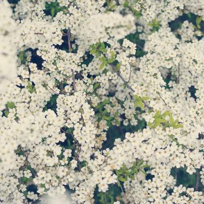 静かに咲き誇る満開のユキヤナギの写真