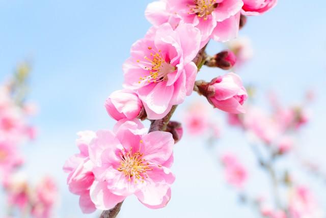 青空に咲くハナモモの写真