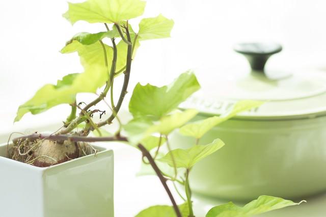 栽培中のサツマイモの葉とおしゃれな鍋の写真