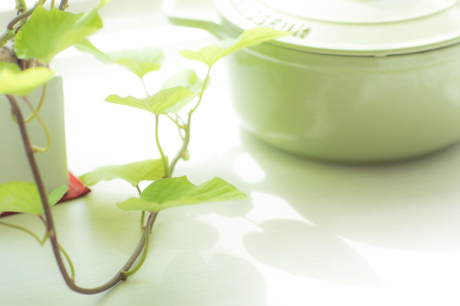 「日を浴びたサツマイモの葉と鍋」の写真
