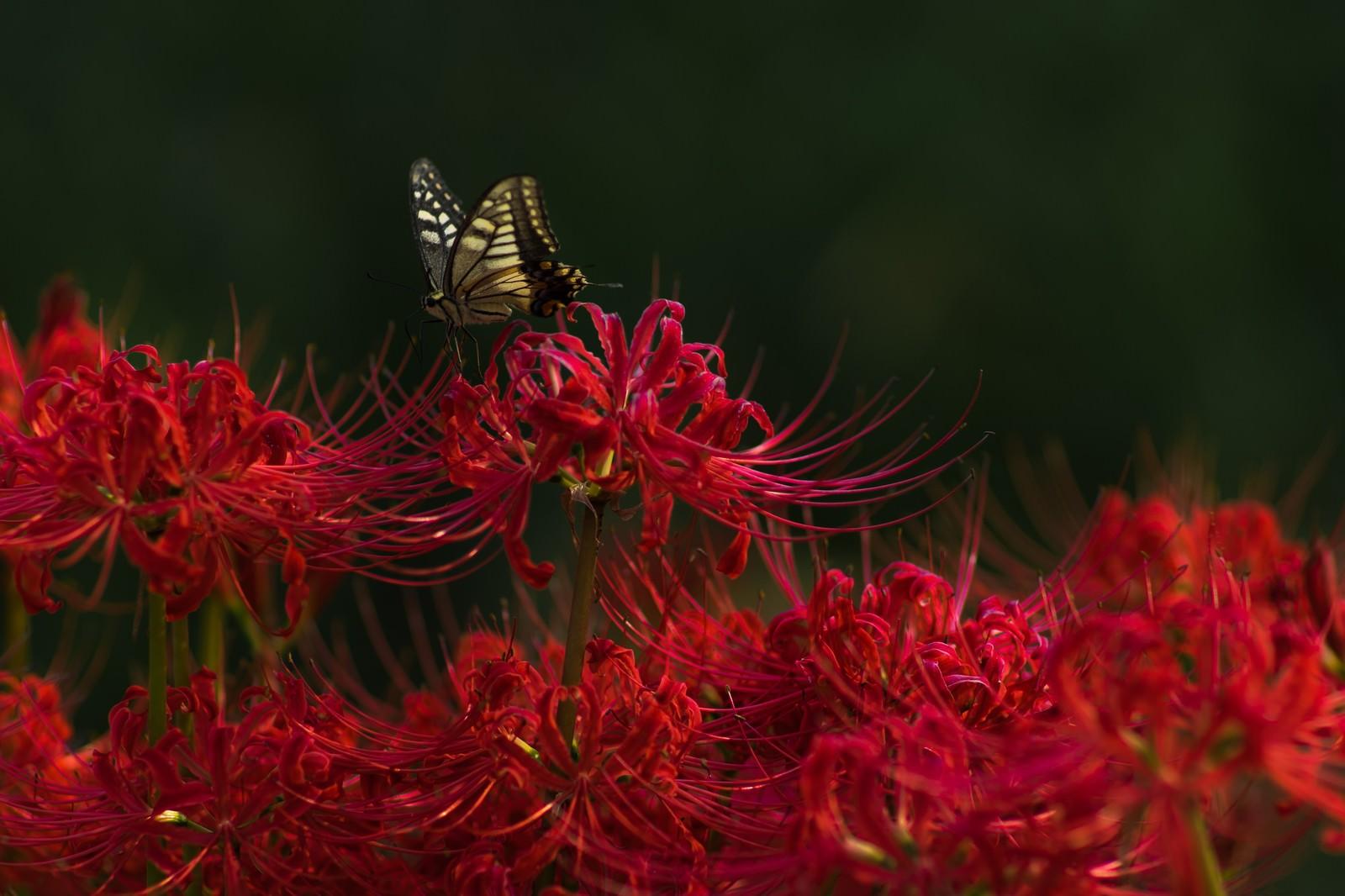 「彼岸花と揚羽蝶」の写真