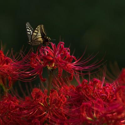 彼岸花と揚羽蝶の写真